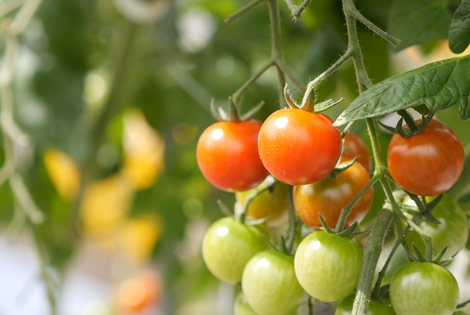 良い環境=良いトマト